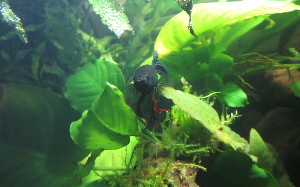 2014-05-17_Aquascaping_Napalm_Fish_016
